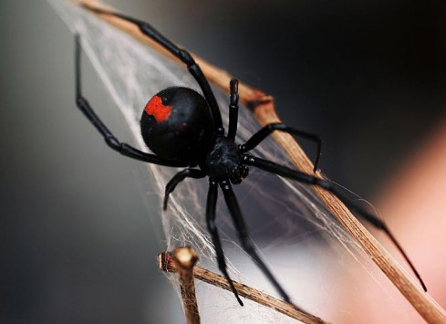 Poisonous Red Back Spider